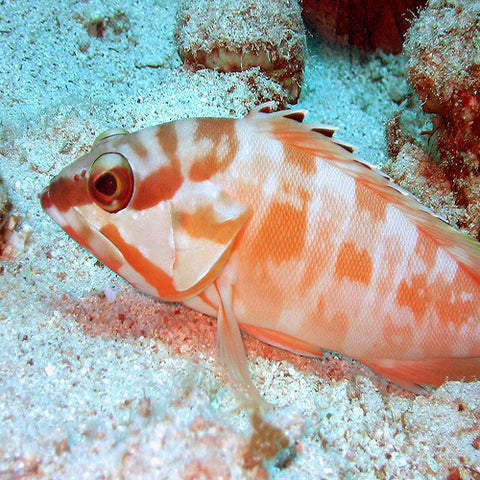 Sunset Grouper (Epinephelus fasciatus) - Marine World Aquatics
