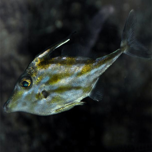 TRIPOD FILEFISH (TRIPODICHTHYS SPP.) - Marine World Aquatics