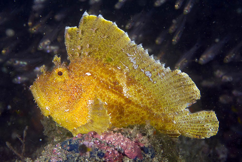 Leaf Fish - Coloured (Taenianotus triacanthus) - Marine World Aquatics