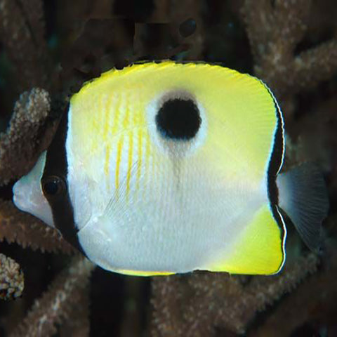 Teardrop Butterfly - Pacific (Chaetodon unimaculatus), Fish by marineworld.co.uk