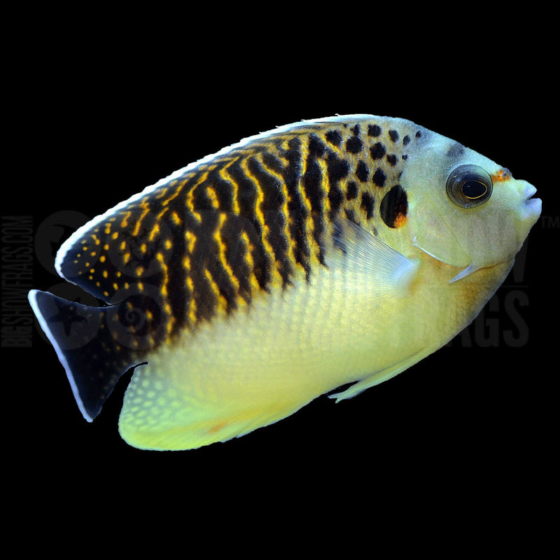 Kingi Angel (Apolemichthys kingi) - Marine World Aquatics