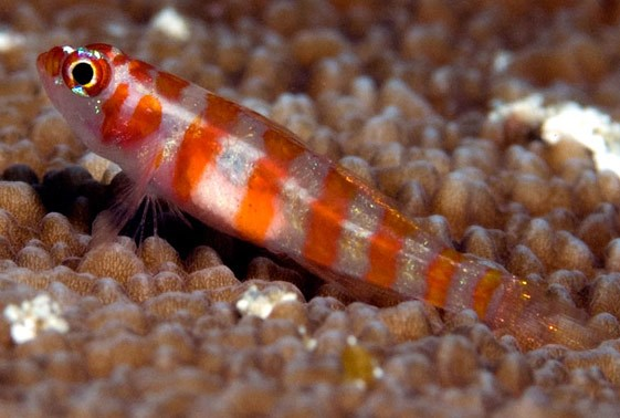 Nano Goby - Firecracker (Trimma cana) - Marine World Aquatics
