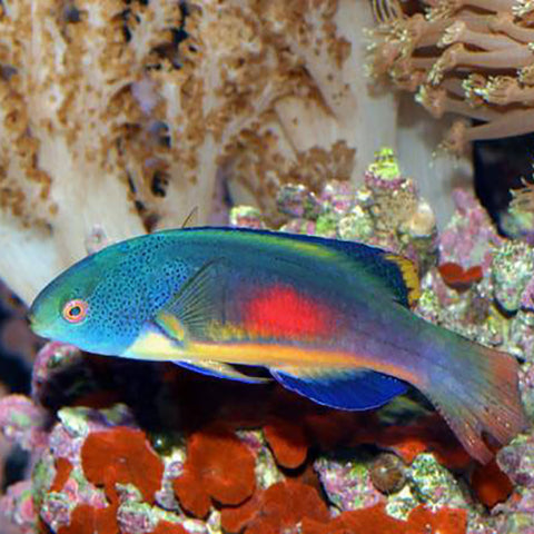 Velvet Dwarf Parrot-Red Patch (Cirrhilabrus scottorum) - Marine World Aquatics