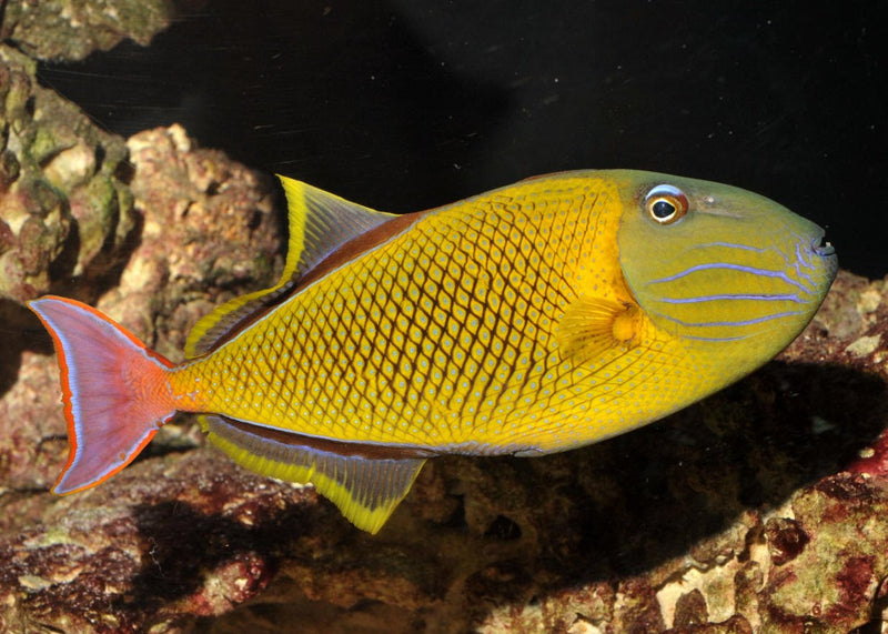 Cross Hatch Trigger (Xanthichthys mento) - Marine World Aquatics
