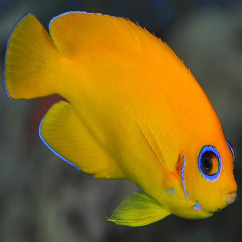 Yellow Angel - Coral Sea (Centropyge heraldi), Fish by marineworld.co.uk