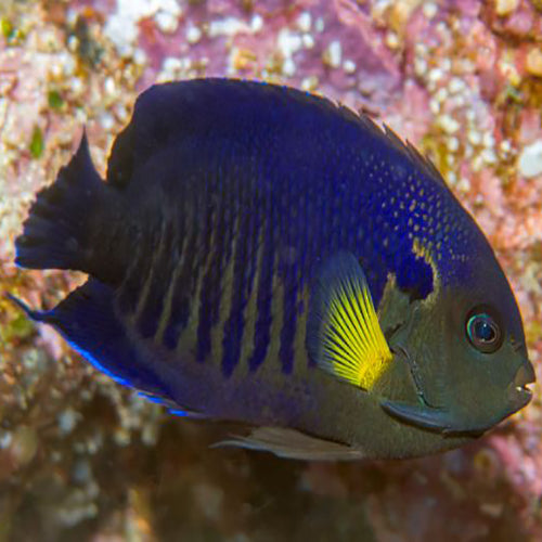 Yellowfin Angel (Centropyge flavipectoralis) - Marine World Aquatics