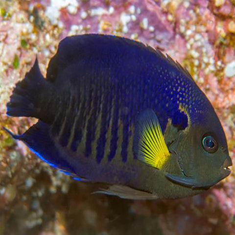 Yellowfin Angel (Centropyge flavipectoralis), Fish by marineworld.co.uk