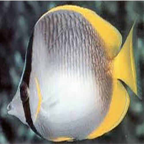 African butterfly chaetodon dolosus marine world aquatics for African butterfly fish