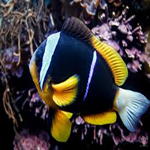 African Clown (Amphiprion allardi), Fish by marineworld.co.uk