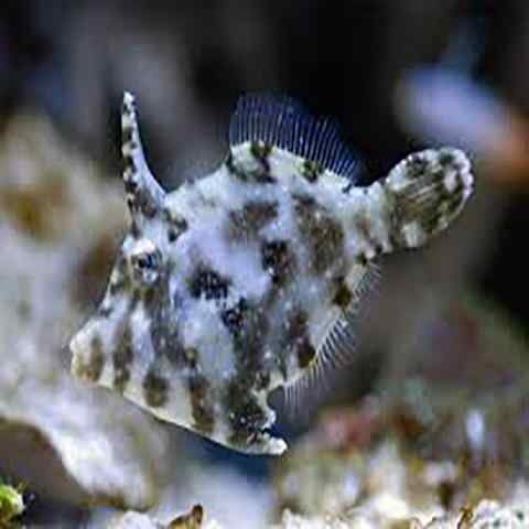 Aiptasia Eating Filefish (Acreicthys tomentosus) - Marine World Aquatics