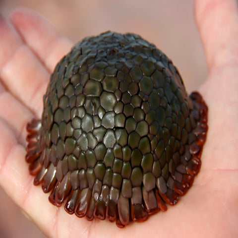 Armadillo Urchin (Colobocentrotus spp.) - Marine World Aquatics