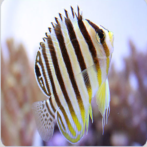 Banded Angel - Yellow (Paracentropyge multifasciata) - Marine World Aquatics