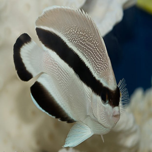Bandit Angel (Holocanthus arcuatus), Fish by marineworld.co.uk