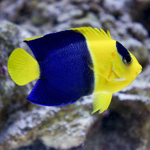 Bicolour Angel - Melanesia (Centropyge bicolor) - Marine World Aquatics