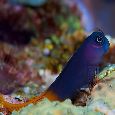 Bicolour Blenny (Ecsenius bicolor) - Marine World Aquatics