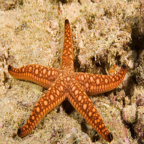 Biscuit Starfish (Fromia elegans), Fish by marineworld.co.uk