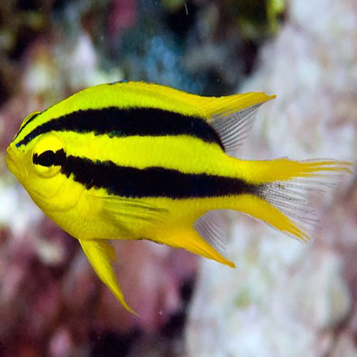 Black & Gold Damsel (Neoglyphidodon nigroris), Fish by marineworld.co.uk