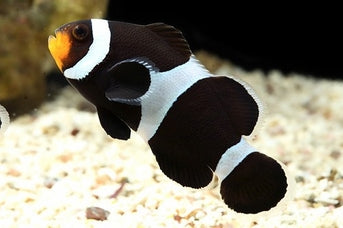 Tank Bred Black & White Clown (Amphiprion ocellaris) - Marine World Aquatics