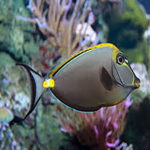 Blonde Naso Tang - (Naso elegans) - Marine World Aquatics