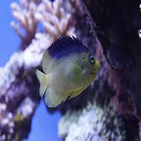 Blue Back Angel (Centropyge colini) - Marine World Aquatics