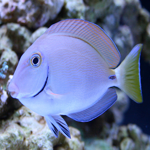 Blue Face Tang (Acanthurus bahianus) - Marine World Aquatics