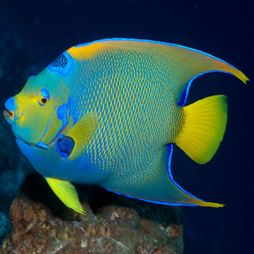 Blue Queen Angel : A (Holacanthus isabelita), Fish by marineworld.co.uk