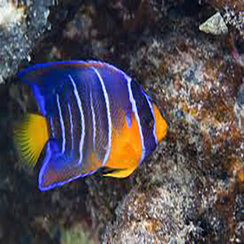 Blue Queen Angel : J (Holacanthus isabelita) - Marine World Aquatics