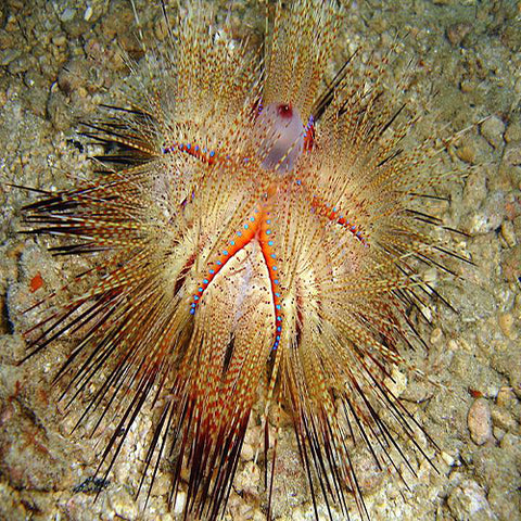 Fire Urchin (Asteropyga radiata) - Marine World Aquatics
