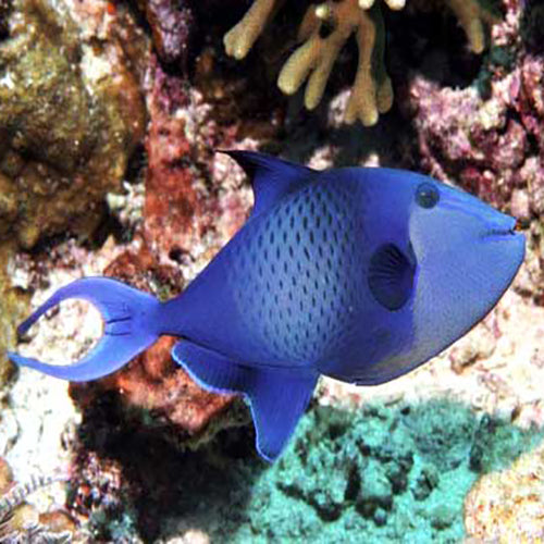 Blue Trigger (Odonus niger) - Marine World Aquatics