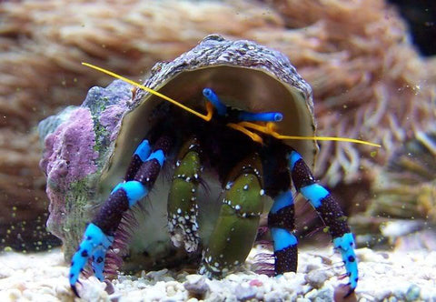 Electric Blue Hermit Crab - (Calcinus elegans) - Marine World Aquatics