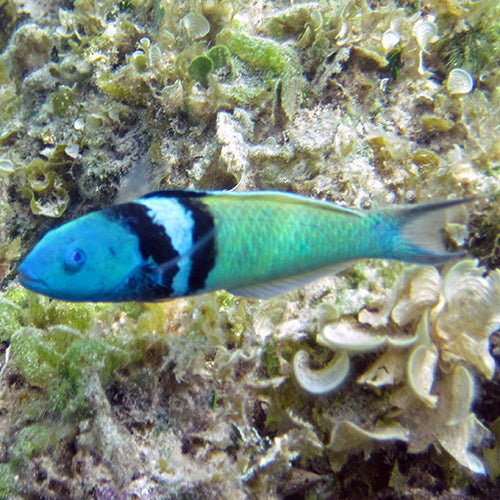 Bluehead Wrasse (Thalassoma bifasciatum), Fish by marineworld.co.uk