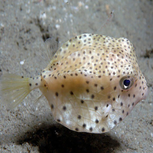 Boxfish - Common (Rhynchostracion nasus) - Marine World Aquatics