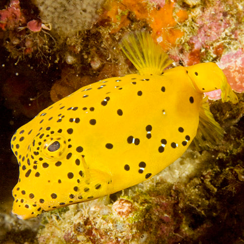 Boxfish - Yellow (Ostracion cubicus) - Marine World Aquatics