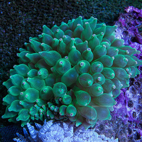 Bubble Anemone - Common (Entacmaea quadricolor), Livestock by marineworld.co.uk