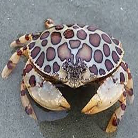 Calico Crab (Calappa spp.) - Marine World Aquatics