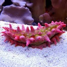 Candy Cucumber (Colochirus crassus) - Marine World Aquatics