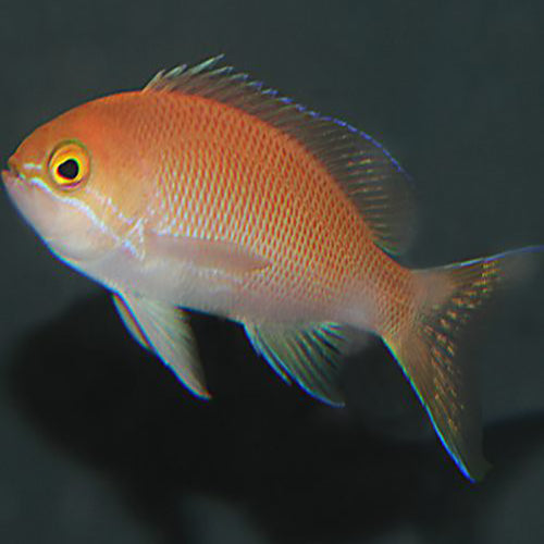 Carlson Anthias (Pseudanthias carlsoni) - Marine World Aquatics