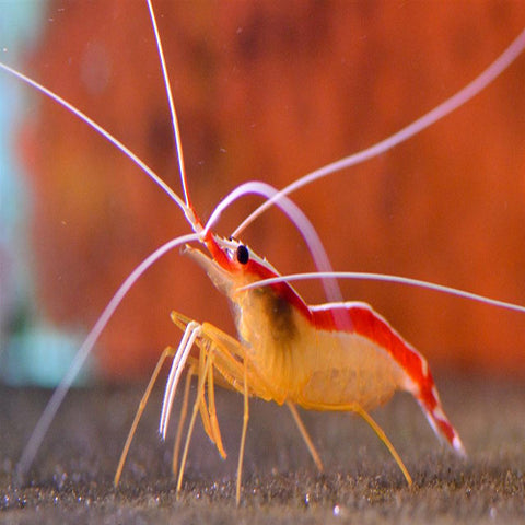 Cleaner Shrimp (Lysmata amboinensis), Livestock by marineworld.co.uk