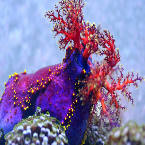 Clown Cucumber  (Pseudocolochirus violaceus) - Marine World Aquatics