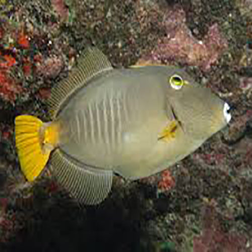 Common Filefish (Cantherhines sp.) - Marine World Aquatics
