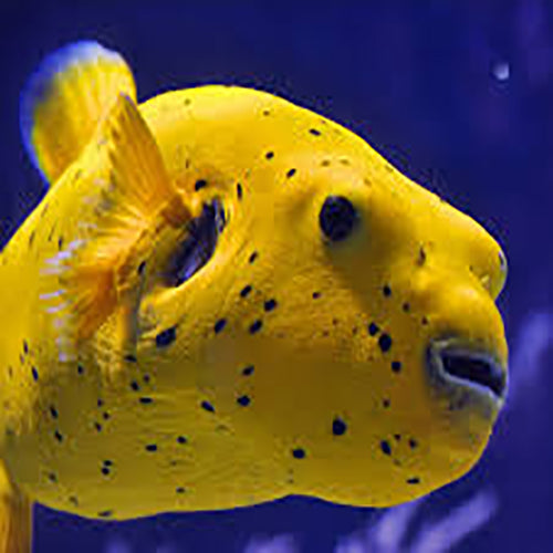 Dogface Puffer - Yellow - Arothron meleagris - Marine World Aquatics