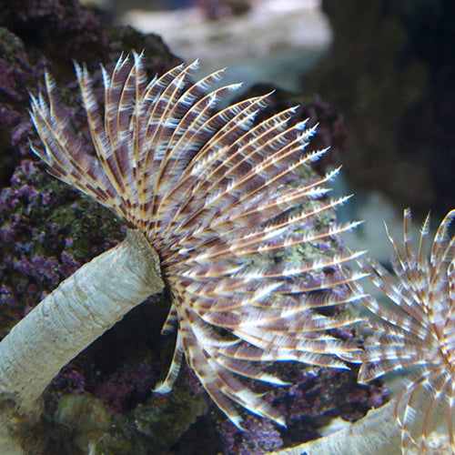 Feather Duster (Sabellastarte spp.) - Marine World Aquatics