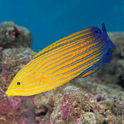 Femininus Wrasse (Anampses femininus), Fish by marineworld.co.uk
