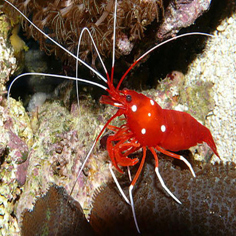 Fire Shrimp (Lysmata debelius), Livestock by marineworld.co.uk