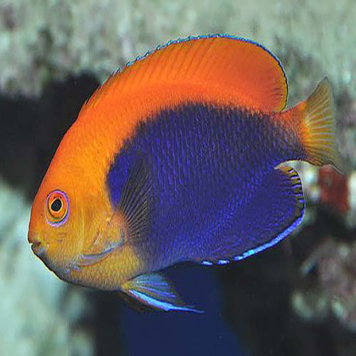 Fireball Angel (Centropyge acanthops), Fish by marineworld.co.uk