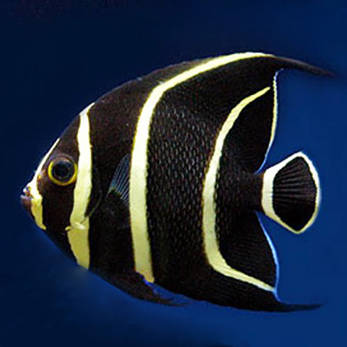 French Angel : J (Pomacanthus paru) - Marine World Aquatics
