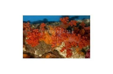 Pussey Orange/Red (Scieronephthya spp) - Marine World Aquatics