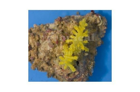 Fire Soft Coral Yellow (Siphonogorgia spp)