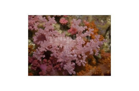 Bush Coral Pink (Scleronephthya spp) - Marine World Aquatics