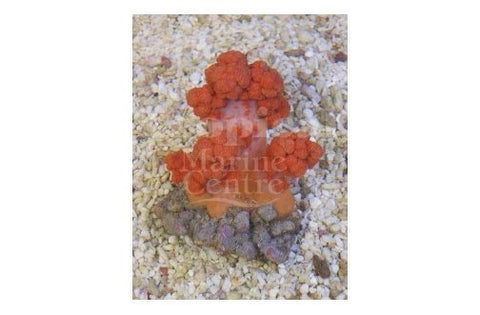Cultured Pussey Coral Orange (Scleronephthya spp) - Marine World Aquatics